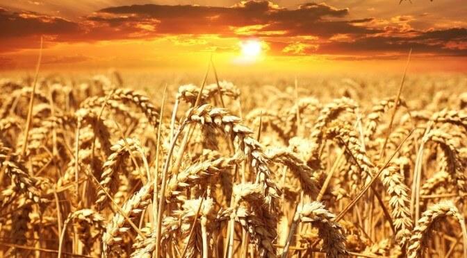 Obiloviny – výborný zdroj energie